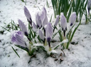 Crocus in Snow by oschene